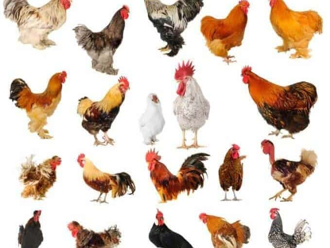 Pickin' Chickens: How to Choose a Breed
