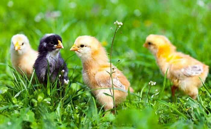 Raising Baby Chicks: The Definitive Guide