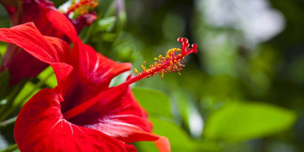 What you need to know about growing hibiscus